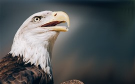 Preview wallpaper Eagle close-up, head, eye, beak