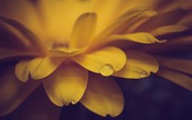 Цветочный крупный план, желтые лепестки, капли воды