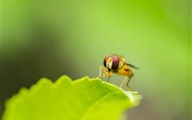 Folha verde, inseto, abelha