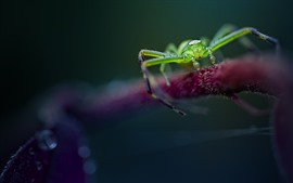 Green spider, insect close-up