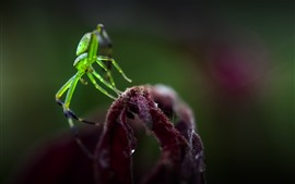 Preview wallpaper Green spider, insect