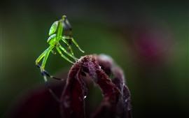 녹색 거미, 곤충