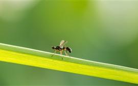 Insecto, hormiga, hoja de hierba verde