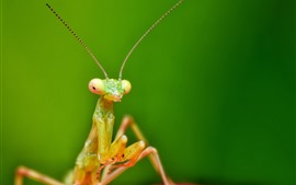 Preview wallpaper Insect, mantis, antenna