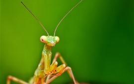 미리보기 배경 화면 곤충, 사마귀, 안테나