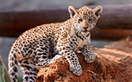 Preview wallpaper Leopard cub, look, wildlife