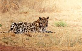 Leopardo, descanso, grama, animais selvagens