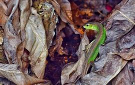 Ящерица, сухие листья