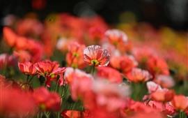 Muchas amapolas rojas, brumosas, primavera