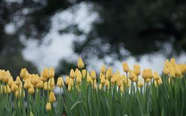Muitas tulipas amarelas, círculos claros