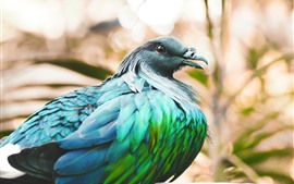 Preview wallpaper Nicobar pigeon