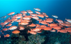 Preview wallpaper One flock of red fish, underwater, sea
