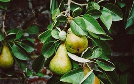 Preview wallpaper Pears, green leaves