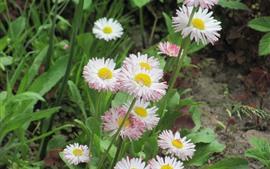 Margaridas cor de rosa flores, verão
