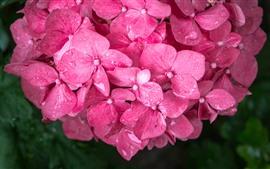 Rosa Hyazinthe blüht Nahaufnahme, Wassertröpfchen