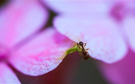 Pink petals, ant, insect