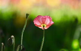 Preview wallpaper Pink poppy flower, green background, spring