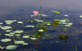 Preview wallpaper Pond, lotus, flowers, clear water