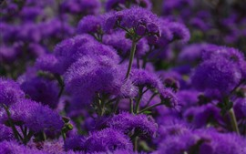 Preview wallpaper Purple flowers, spring, plants