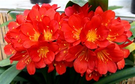 Floraison de fleurs rouges, pétales