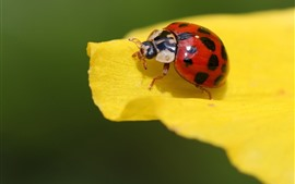 Preview wallpaper Red ladybug, yellow petals