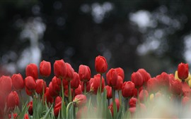 Preview wallpaper Red tulips, hazy background