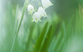 Preview wallpaper Snowdrops, white flowers, green background
