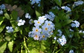 Algumas flores azuis, miosótis