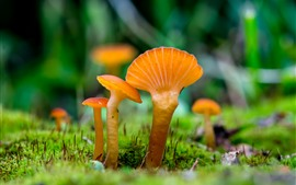 Preview wallpaper Some orange mushrooms, grass