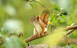 Squirrel, tree, green leaves, twigs
