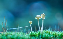 Preview wallpaper Three white mushrooms, grass, nature