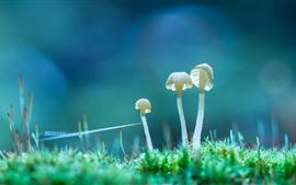 Três cogumelos brancos, grama, natureza