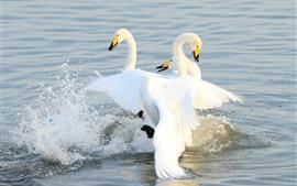 Tres cisnes blancos en el lago, salpicaduras de agua