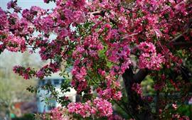 Tree, pink flowers bloom, spring