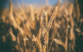 Preview wallpaper Wheat macro photography, hazy, nature