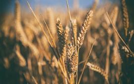 Macro fotografia de trigo, nebuloso, natureza