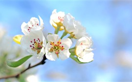 Preview wallpaper White apple flowers bloom, spring, sky
