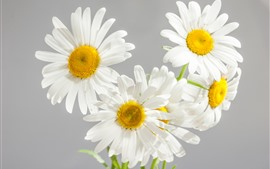 Preview wallpaper White daisies, petals, gray background