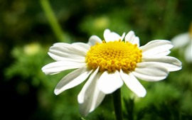 Preview wallpaper White daisy, yellow pistil