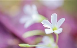 Белые маленькие цветы, розовый фон, дымка