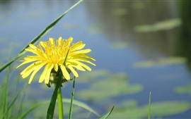 Preview wallpaper Yellow dandelion flower, pond