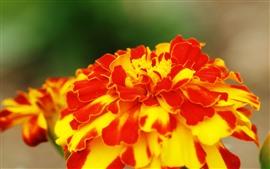 Pétalas vermelhas amarelas flor close-up