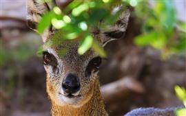 Antelope, look, nose, eyes, leaves