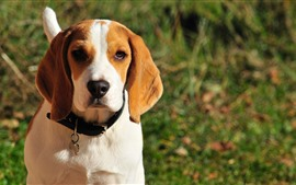 Beagle dog, front view, face, hazy background