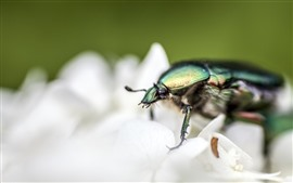 Preview wallpaper Beetle macro photography, white flower