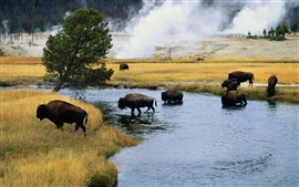 Preview wallpaper Bison, trees, grass, river, wildlife