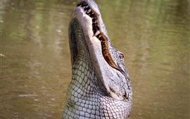 Aperçu fond d'écran Crocodile prend la tête haute