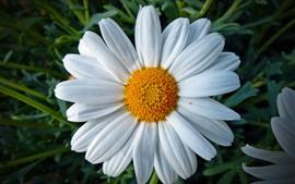 Aperçu fond d'écran Marguerite, pétales blancs