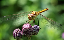 Preview wallpaper Dragonfly, wings, flower buds