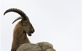 Preview wallpaper Goat, horns, white background